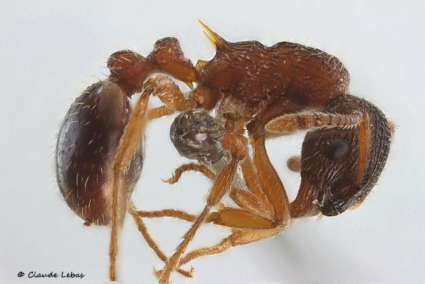 ouvriere Myrmica spinosior