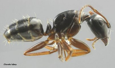ouvriere Camponotus fallax