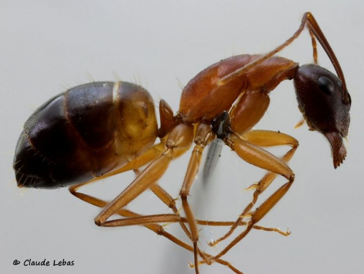 ouvriere Camponotus pilicornis
