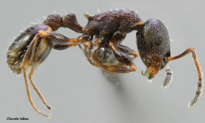 ouvriere Temnothorax grouvellei
