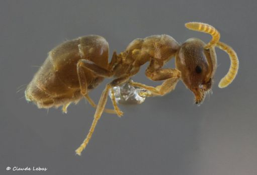 ouvriere Bothriomyrmex meridionalis